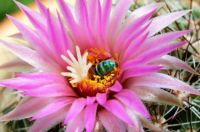 Sweat bee in barrel cactus bloom.