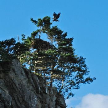 Fledgling Bald Eagle Landing Near Nest, Old Shop, NL