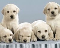 Labrador-Retriever-Puppies-Wallpapers