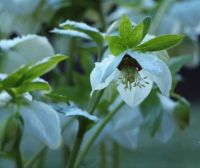 White hellebore with a dusting of snow