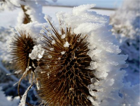 Frosted teazle