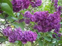 lila orgona