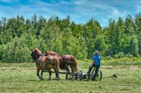 Amish Man Cutting Hay
