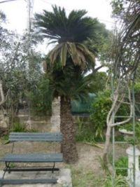 Large Cicas (Cycad)