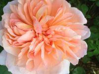 Rose at Washington Park, Portland Or
