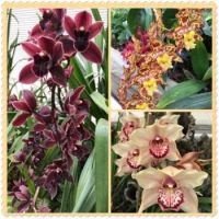 Orchids. Butterflies Glasshouse. RHS Wisely Park Gardens.