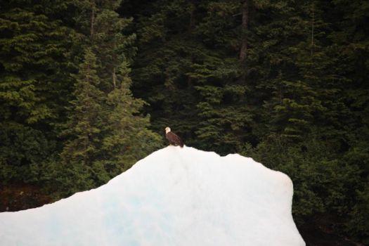 bald eagle on an ice floe.
