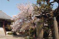Shinto shrine with blooming sakura