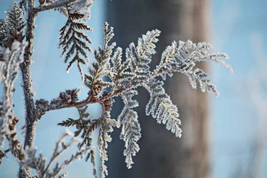 THEME: Weather: Frost on Cedar
