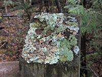 Lichen on a FENCE post