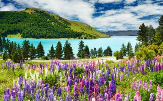 Lupines in the Mountains