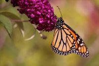 Monarch on Purple