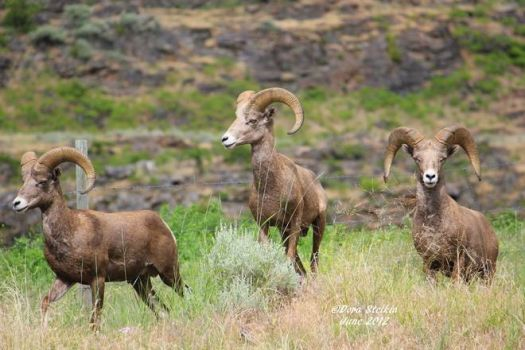 Standing Tall - Big Horn Sheep, Oliver BC