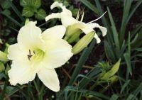 Creamy Lilies