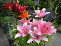 My Lilies --  update (2 July 2021)