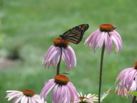 Butterfly and coneflowers