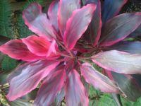 caba flower
