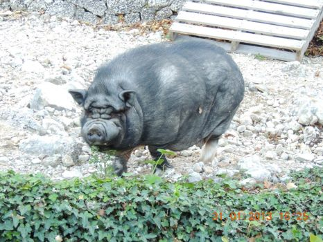 Charlie the Vietnamese pot bellied pig