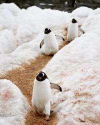 Antarctica penguin1
