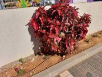 reddish-pink bush