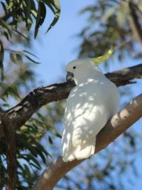 191_6796 another  Sulphur-crested Cockatoo, Cacatua galerita,  Cacatuidae
