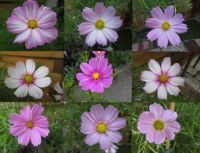 Eighth Cosmos / Cosmea collage