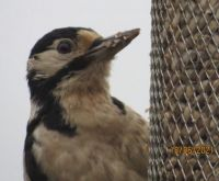 The Male Greater Spotted Woodpecker