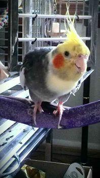 Bubby, the Hawk-a-tiel  1986-2013