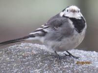 Pied Wagtail not liking the cold windy day