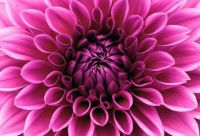 *1  ~  'The Spiral Beauty Of The Dahlia'