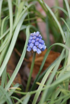 Grape Hyacinth  A few months early!