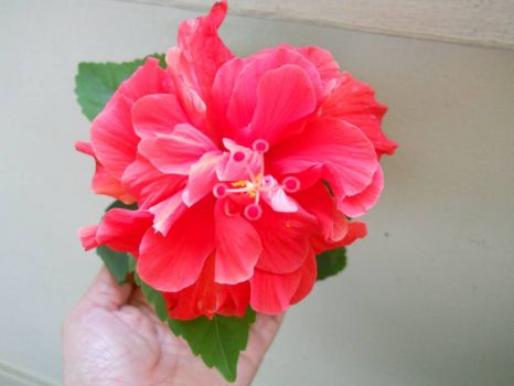 Malaysia's national flower - The Hibiscus