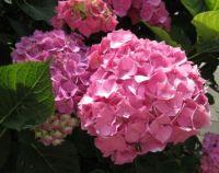 My pink Hydrangea ....