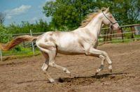 Akhal-Teke (nejkrásnější kůň světa pochází z Turkmenistánu)