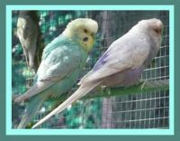 Spangle Factor Budgies