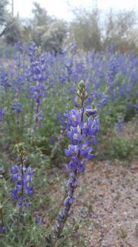 Lupines near Yuma
