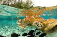 green-sea-turtles-bora-bora