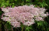 Pink Queen Anne's Lace