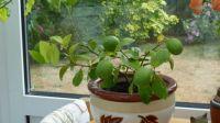 Lemon tree (update...)