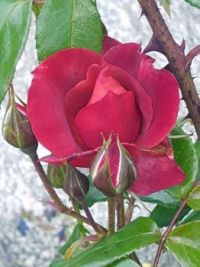 Red Rose and Buds