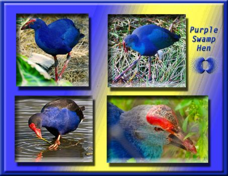 WEEKLY THEME:  Birds.... Purple Swamp Hen (FOR RJDB).....