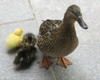 Mrs Mallard with three ducklings. The question is: 'are they all hers ?'