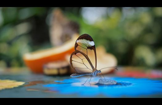 The stunning Glass Winged Butterfly