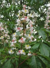 Indian Horse Chestnut tree