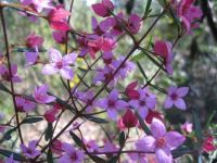 spring wildflowers 1 -boronia