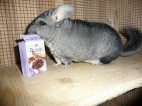 Zicco - The chinchilla