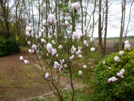 Young magnolia tree blooming!