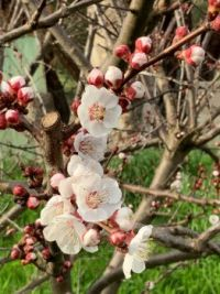 Spring blossom - apricot
