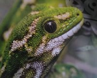 Jewelled gecko