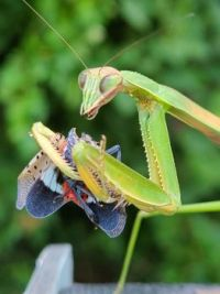 Praying mantis performing a public service in Hummelstown, PA.